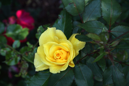 Knockout roses and yellow tea rose